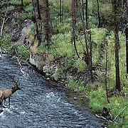 Elk, (Cervus elaphus) bull in velvet crossing Madison River. Late summer. Yellowstone National Park.