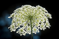 A flowerhead of Queen Anne's Lace glows from sunlight above.