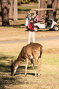 Deer gather along the Ocean Creek Golf Course as golfers play on Fripp Island, SC.