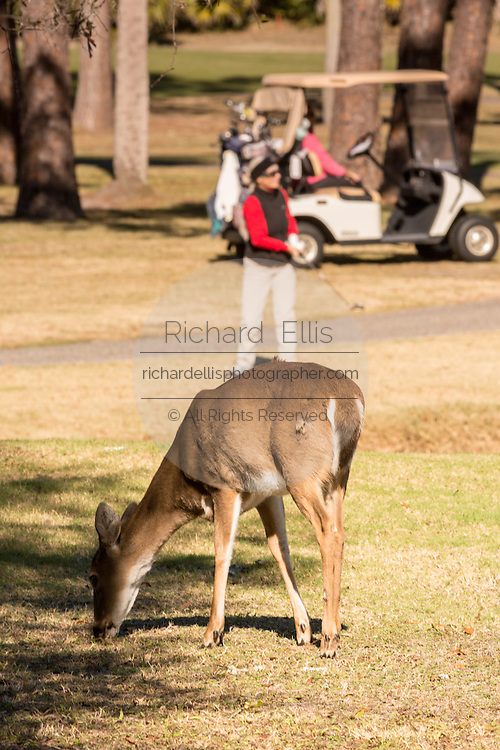Deer gather along the Ocean Creek Golf Course as golfers play on Fripp Island, SC.