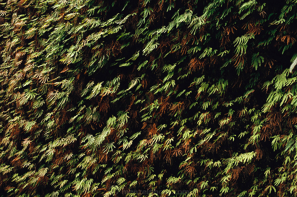 Ferns cover the walls of Fern Canyon, Redwood National Park, Humboldt County, California, USA.