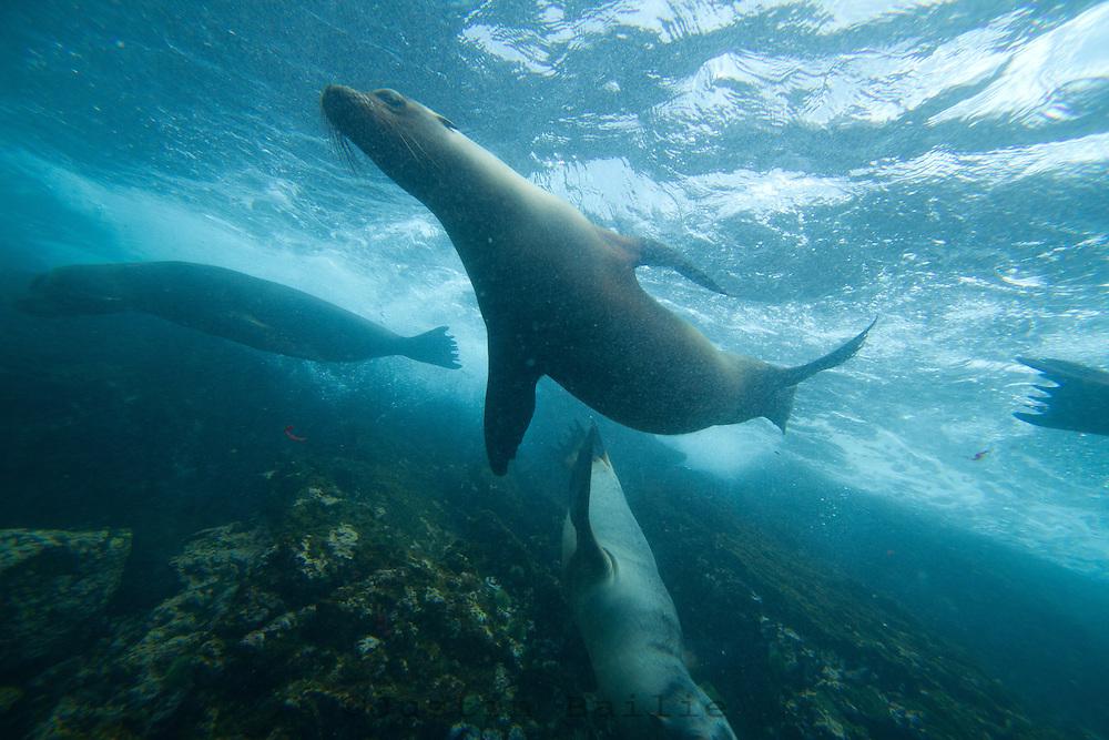Underwater view of Galapagos Sea Lions in the Galapagos Islands, Ecuador.