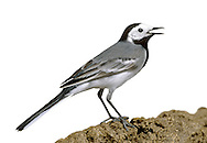 White Wagtail - Motacilla alba alba. (L 18cm) is the mainland European counterpart of the Pied Wagtail and easily overlooked because the two are so similar. All birds have a grey, not black, rump but this is not always easy to discern. An adult male also has a grey (not black), with a clear demarcation from the black nape and hindcrown in summer. In terms of behaviour and voice, White and Pied Wagtails are identical. The White Wagtail replaces Pied in the Channel Islands and a few pairs also breed in Scotland, particularly on the Shetland Isles. Elsewhere, it is a fairly common passage migrant, with most sightings on the coast in autumn.