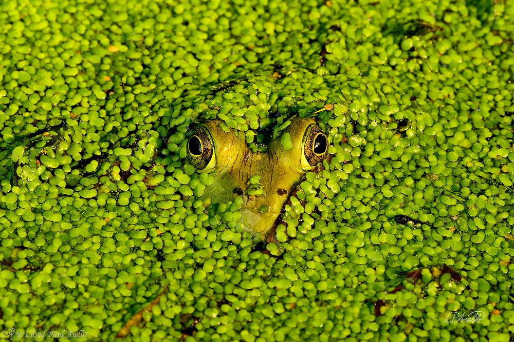 An American Bullfrog (Rana catesbeiana) reveals only a heart-shaped head through a carpet of Duckweed (Lemnaceae) completely covering a small pond.<br /> <br /> The bullfrog is native to eastern North America with a natural range from the Atlantic Coast to as far west as Oklahoma and Kansas.  However, it has been introduced elsewhere where it is considered an invasive species, including Arizona, Utah, Colorado, Nebraska, Nevada, California, Oregon, Washington, Hawaii, Mexico, Canada, Cuba, Jamaica, Italy, Netherlands, France, Argentina, Brazil, Uruguay, Venezuela, Colombia, China, South Korea and Japan.  In some areas, the bullfrog is used as a food source.  <br /> <br /> Bullfrogs are voracious, ambush predators that eat any small animal they can stuff down their throats. Bullfrog stomachs have been found to contain rodents, reptiles, amphibians, crayfish, birds, bats, fish, tadpoles, snails and their usual food – insects.  Bullfrogs are able to jump a distance 10x their body length.  The female lays up to 20,000 eggs at a time that form a thin, floating sheet which may cover an area of 0.5 -1 m2 (5.4 - 10.8 sq ft). The embryos hatch in 3 - 5 days. Time to metamorphize into an adult frog ranges from a few months in the southern part of their range to 3 years in the north where the colder water slows development.  Maximum lifespan in the wild is 8 - 10 years, but one bullfrog lived for almost 16 years in captivity.<br /> <br /> Duckweed (Lemnoideae) are small flowering aquatic plants which float on or just beneath the surface of still or slow-moving bodies of fresh water. These plants lack obvious stems or leaves, and depending on the species, each plant may have no root or one or more simple rootlets.  Reproduction is mostly by asexual budding, however, occasionally three tiny flowers are produced for sexual reproduction.  The flower of the duckweed measures a mere 0.3 mm (1/100th of an inch) long.