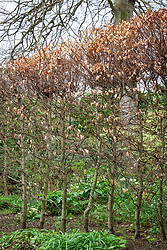 Fagus sylvatica - Beech - hedge in early spring