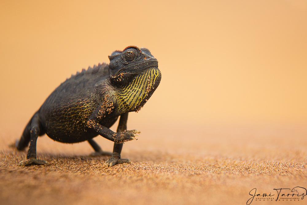 A namaqua chameleon (Chamaeleo namaquensis) standing on a sand dune in the Namib desert,, Skeleton Coast, Namibia,Africa