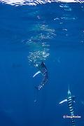 striped marlin, Kajikia audax (formerly Tetrapturus audax ), feeding on baitball of sardines or pilchards, Sardinops sagax, off Baja California, Mexico ( Eastern Pacific Ocean ) #3 in sequence of 5 images