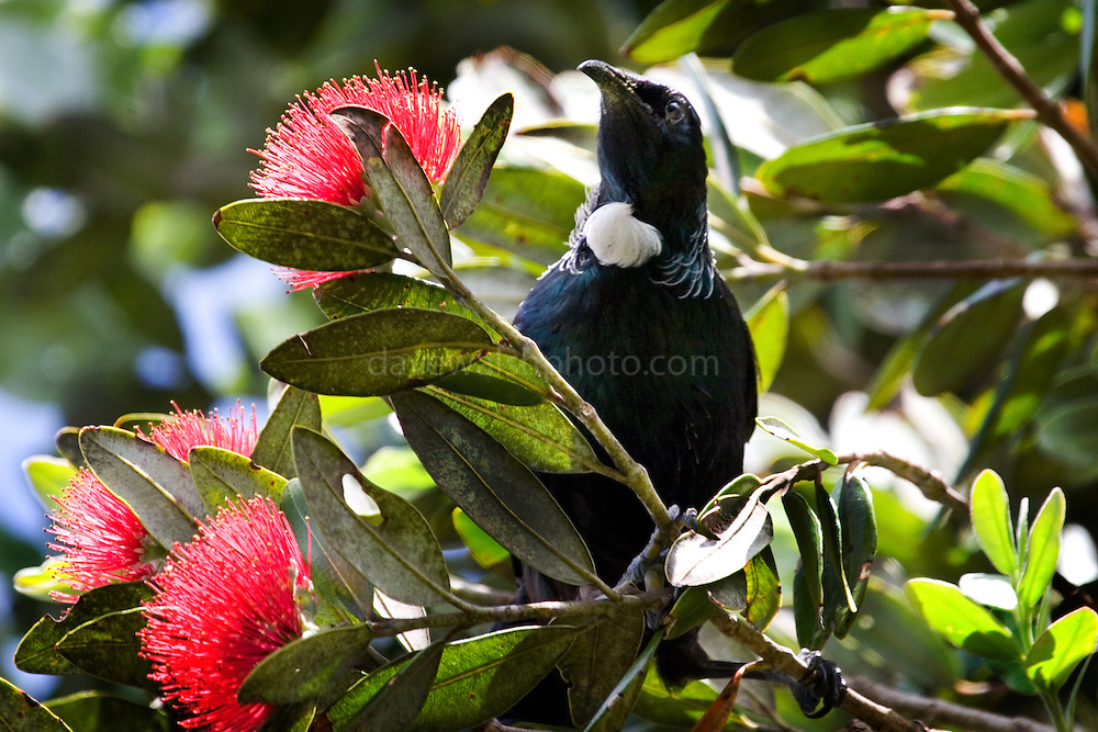 """Tui, photographed on Tiritiri Matangi. Tui - known in English as the """"Parson Bird"""" because of its white ruff. Spotted this on in a Pohutukawa tree on Tiri Tiri Matangi. They're quite plentiful on the island, and make lots of noise.They're clever birds, can can mimic lots of things - including humans and mobile phones - thank to their two voiceboxes! Some of the sounds they make are inaudable to humans - they're outside our spectrum of hearing. They're also quite agressive - I did see them involved in many tussles with each other as well as other species of birds on Tiritiri.....The Pohutukawa is also known as the New Zealand Christmas Tree."""