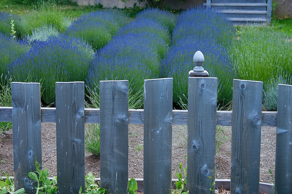 Blue wooden fence with  lavender plants in background, Union Bay Vancouver Island