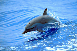 pantropical spotted dolphin calf wake-riding, Stenella attenuata, off Kona Coast, Big Island, Hawaii, Pacific Ocean
