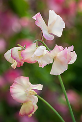 Lathyrus odoratus 'Mollie Rilstone'. Sweet pea
