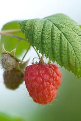 Raspberry 'Glen Ample' - Rubus idaeus
