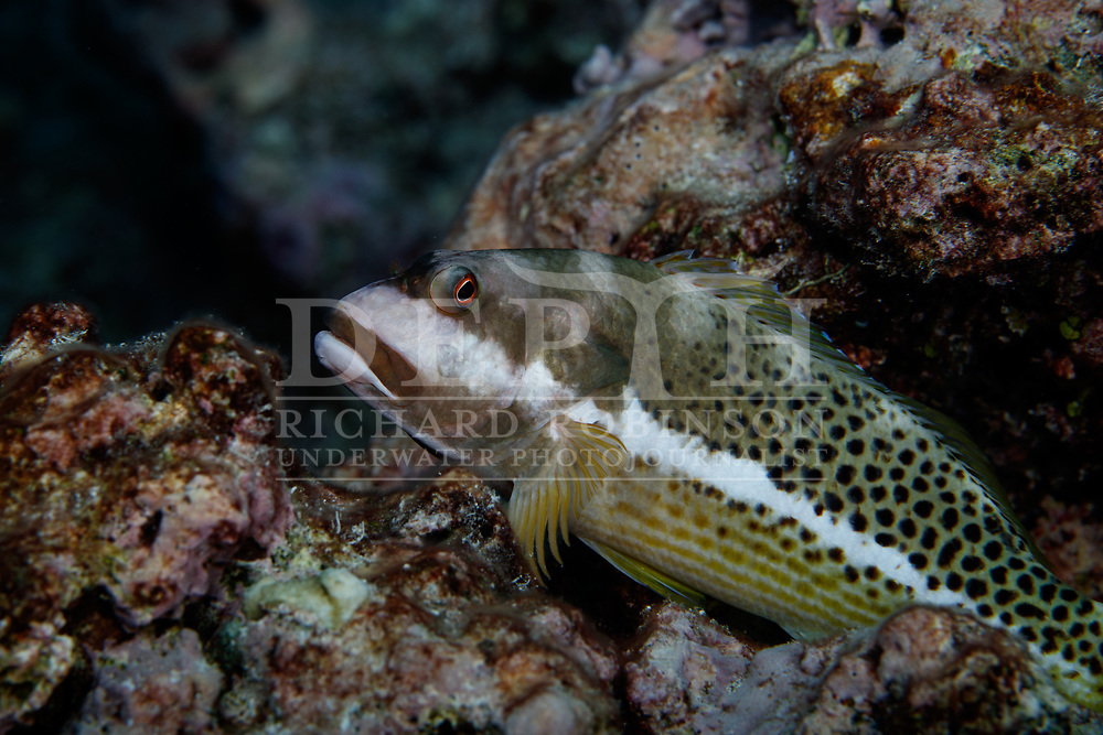 Paracirrhites hemistictus (Halfspotted Hawkfish) also known as the Whitespot hawkfish, Multicolored hand-fish and Ornate hawkfish at Vautoa Ono in the Lau Island Group of Fiji.<br /> Tuesday 15 August 2017<br /> Photograph Richard Robinson © 2017