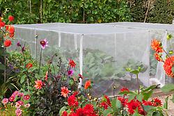 Brassica cage in the vegetable garden