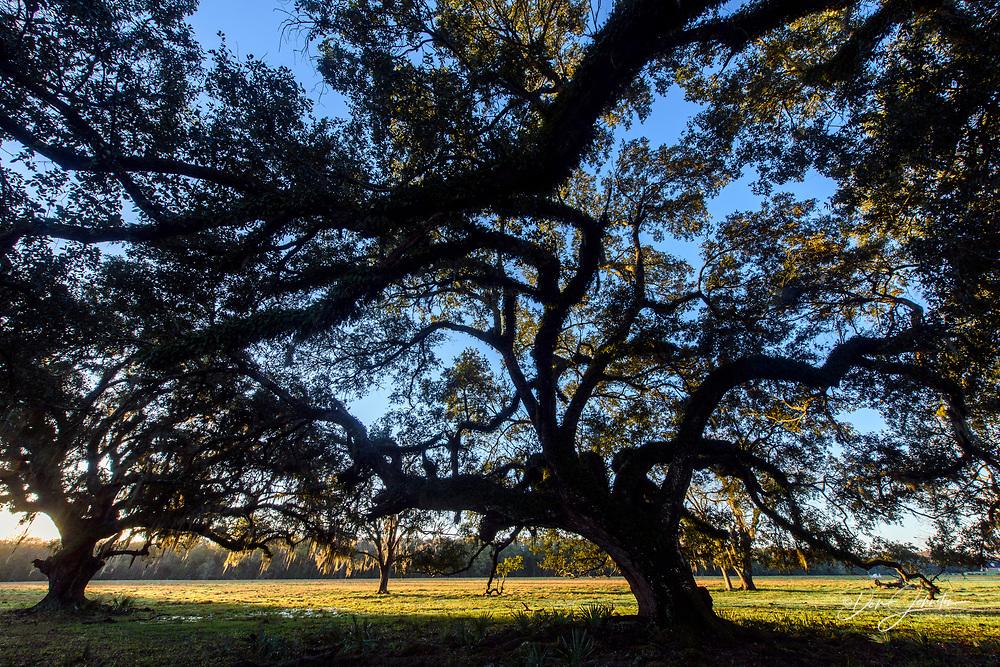 Large southern live oak and spanish moss, Abbeville, Louisiana, USA