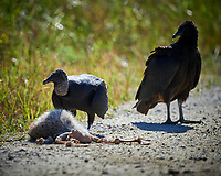 Black Vulture feeding on a road-killed mammal. Biolab Road, Merritt Island National Wildlife Refuge. Image taken with a Nikon D4 camera and 500 mm f/4 VR lens (ISO 160, 500 mm, f/4, 1/1000 sec).