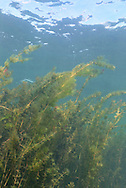 Eurasian Watermilfoil<br /> <br /> Engbretson Underwater Photography