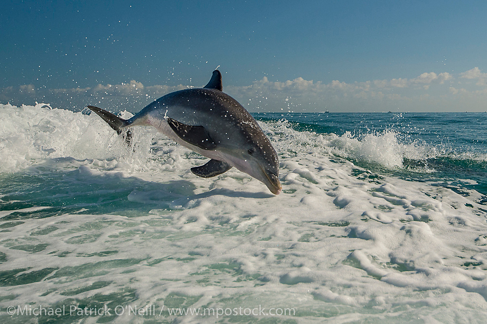Atlantic Bottlenose Dolphins, Tursiops truncatus, jump and play in the wake of a boat offshore nothern Key Largo, Florida Keys, United States.