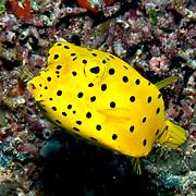 Yellow Boxfish inhabit reefs. Pictue taken Palaui.
