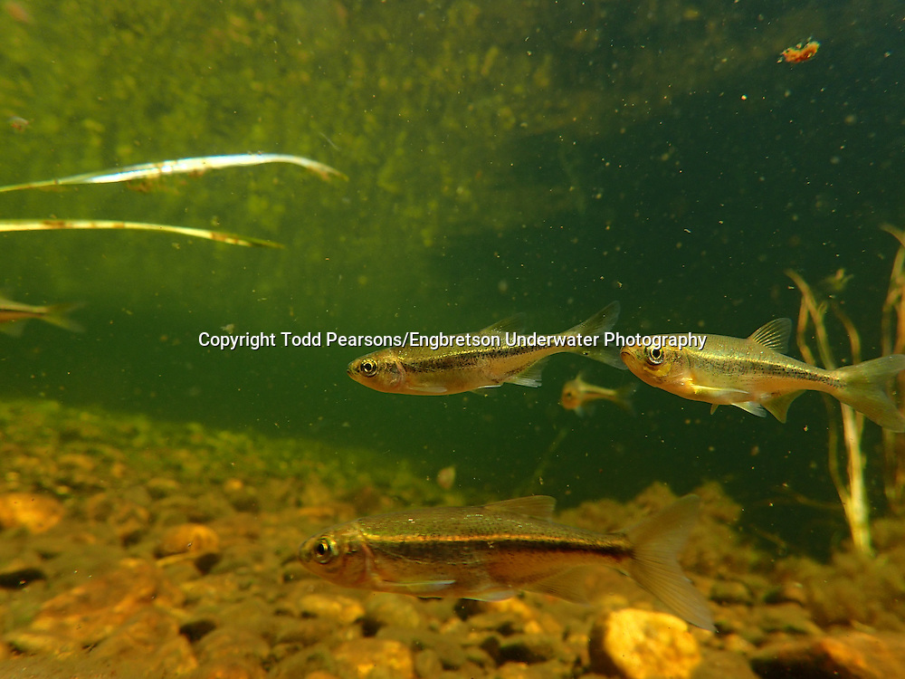 Redside Shiner<br /> <br /> Todd Pearsons/Engbretson Underwater Photography