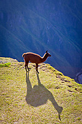 Llama at a cliff edge at Machu Picchu, Peru