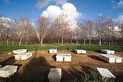Israel, Coastal Plains, Bee Hives in a pecan tree plantation