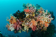 Soft Coral (Nephthea sp) &<br /> Coral reef diversity<br /> Raja Ampat<br /> West Papua<br /> Indonesia
