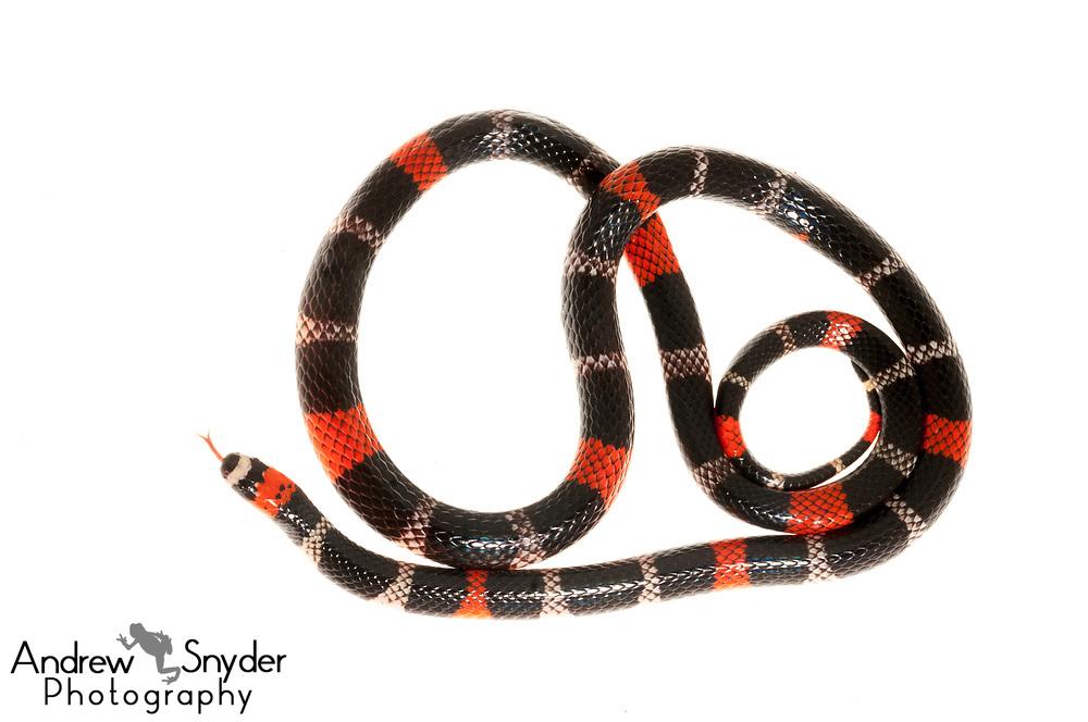 South American Coral snake, Micrurus lemniscatus, Kanuku Mountains, July, 2014