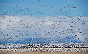 Thousands of snow geese take flight from the fields surrounding Freezout Lake with a background of the Rocky Mountain Front, blue skies, and partly cloudy