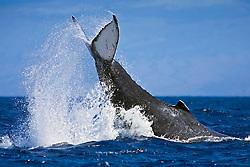 humpback whale, Megaptera novaeangliae, displaying aggressive caudal peduncle throw behavior, Hawaii, Pacific Ocean