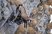 02.11.2008.Chamois (Rupicapra rupicapra). Running..Gran Paradiso National Park, Italy
