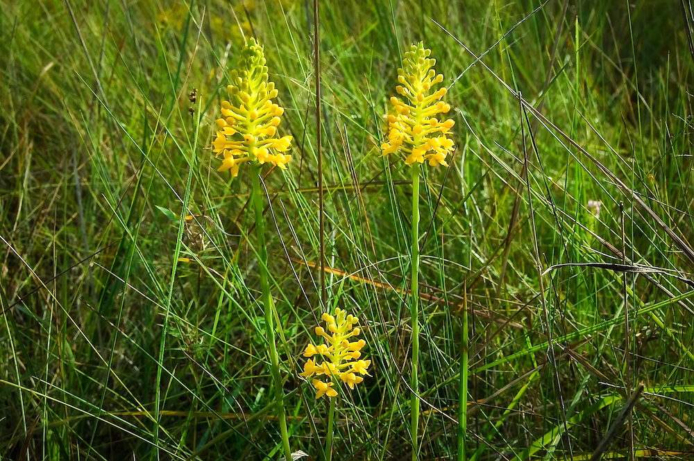 These three orchids were part of a much larger colony of about 100 plants found in the Apalachicola National Forest. Incredible yellow color!