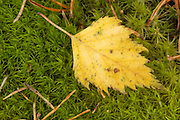 Closeup of a birch leaf in autumn, against a moss background, with some pine needles.