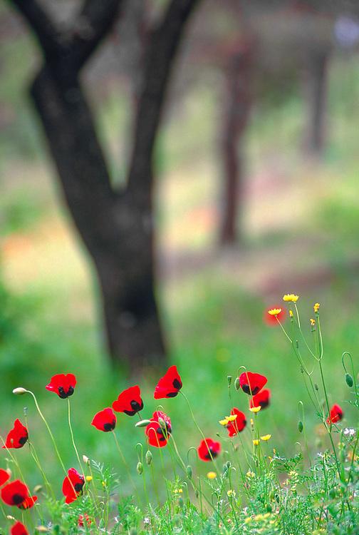 Poppies, Turtle Lake Park, spring, Tbilisi, Georgia