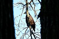 Bald Eagle Hiding