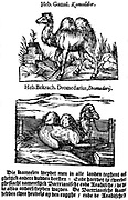 Pre-binomial classification of species. Here two different species of the genus camel are named in Hebrew, Latin and Dutch, although only one species, the Bactrian is depicted. From 'Handelende van de Natuere', Amsterdam 1644, a Dutch edition of Pliny's 'Natural History'. Woodcut
