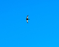 Common Swift (Apus apus). Morning Oslo walkabout. Image taken with a Fuji X-T1 camera and 56 mm f/1.2 lens.