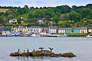 Cormorant birds and Black Backed Gull in Courtmacsharry Bay, County Cork, Ireland