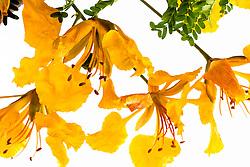 Royal Poinciana -yellow#39