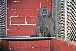 Baboon In Cage