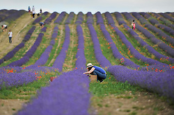 © Licensed to London News Pictures. 09/07/2017. Ickleford, UK. Visitors to Hitchin Lavender farm view and pick lavender.  Currently in full bloom, the lavender attracts visitors from far and wide to this popular family run farm.  Photo credit : Stephen Chung/LNP
