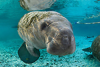 Florida manatee, Trichechus manatus latirostris, a subspecies of the West Indian manatee, endangered. A curious manatee with snout and whiskers prominent looks out. Fish, mangrove snapper, Lutjanus griseus, and bream, Lepomis spp., are present. Horizontal orientation in front of the sanctuary with mixing blue and green waters and rainbow sun rays. Three Sisters Springs, Crystal River National Wildlife Refuge, Kings Bay, Crystal River, Citrus County, Florida USA.