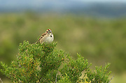 Lark sparrow on a greaswood tree in the Great Plains of Montana. American Prairie Reserve region of the C.M. Russell National Wildlife Refuge south of Malta in Phillips County, Montana.
