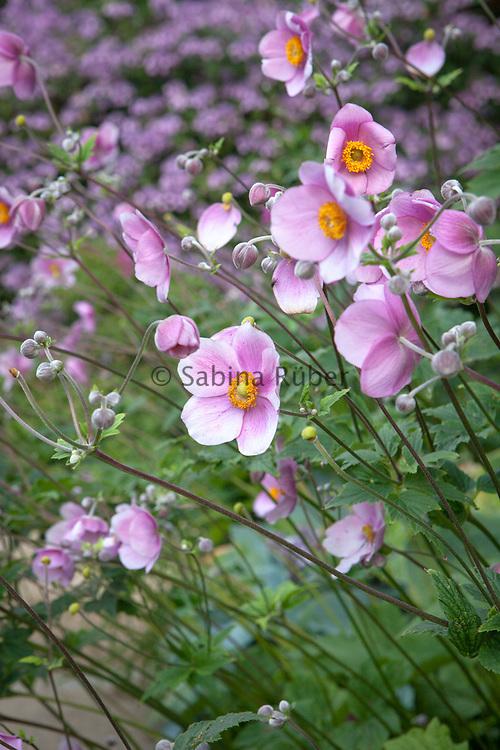 Anemone japonica, The White Sunk Garden, Kiftsgate Court Gardens
