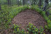 Large Wood Ants Nest, Hymenoptera: Formicidae, Kuhmo, Finland, Lentiira, in woodland