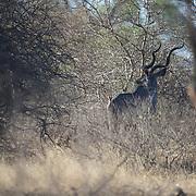 Male Greater Kudu, Timbavati Private Nature Reserve. South Africa.  Greater Kudu, Timbavati GAme Reserve, South Africa.