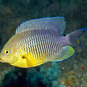 Cocoa Damselfish inhabit reefs, especially fore reefs with living coral, in Tropical West Atlantic; picture taken Blue Heron Bridge, Palm Beach FL.