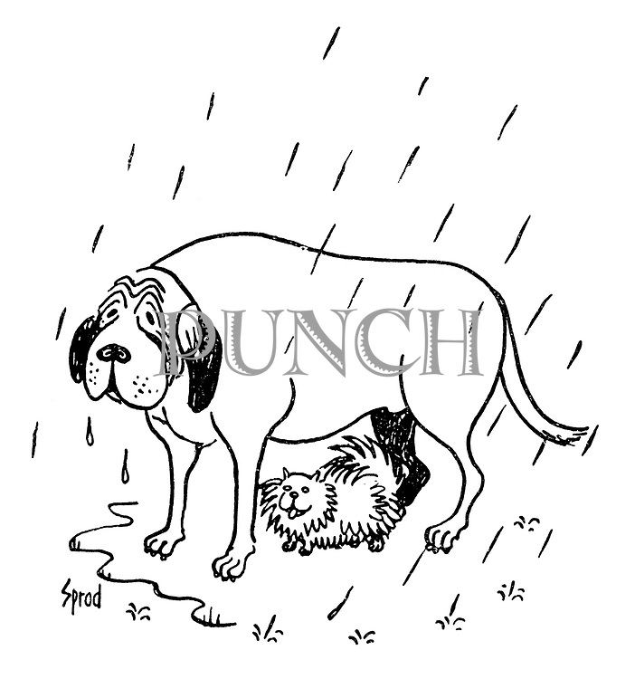 (A small dog shelters from the rain underneath a much bigger dog)