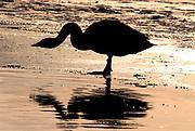 Whooper swan, Cygnus cygnus, standing in water, backlight by setting sun, silhouette, drinking, lake Kussharo-ko, Hokkaido Island, Japan, japanese, Asian, wilderness, wild, untamed, ornithology, snow, graceful, majestic, aquatic