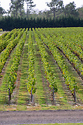 Vineyard, view from the winery. Chateau Paloumey, Haut Medoc, Bordeaux, France.
